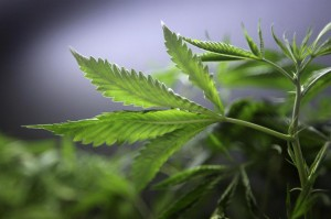 2017021cannabis